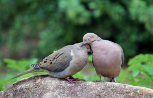 Not my injured dove, but I am hoping this was how her ordeal ended today..